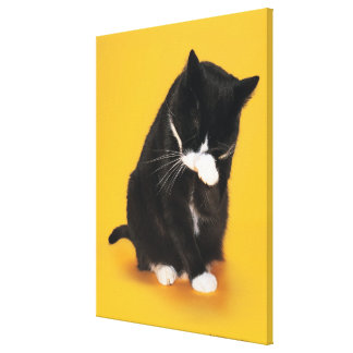 Black and White Cat cleaning face with paw Canvas Print