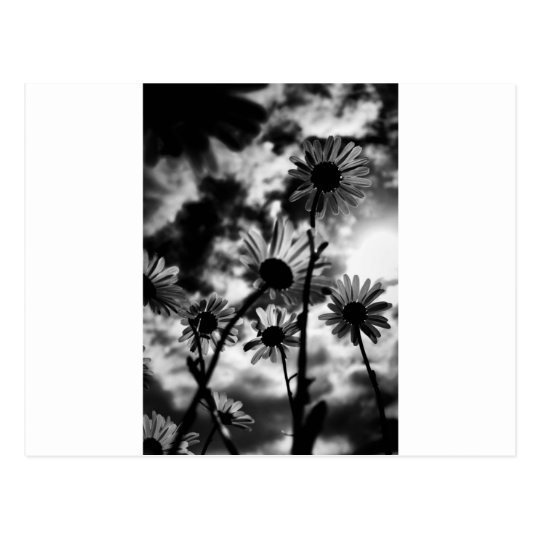 black and white daisies postcard
