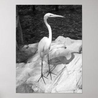 Black And White Egret Photo Poster