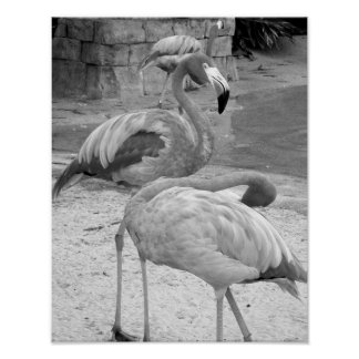 Black And White Flamingos Photograph Poster