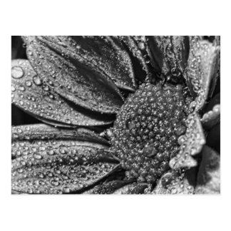 Black and white flower with morning dew, postcard
