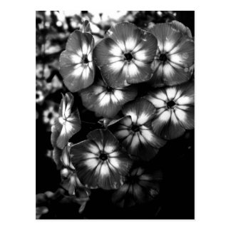 Black and White Garden Phlox Flower cluster Postcard