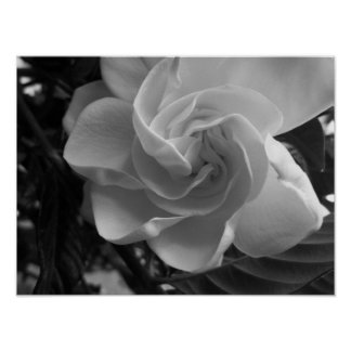 Black And White Gardenia Photograph Poster