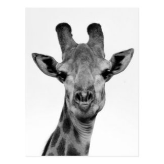 Black and White Giraffe Photograph Postcard