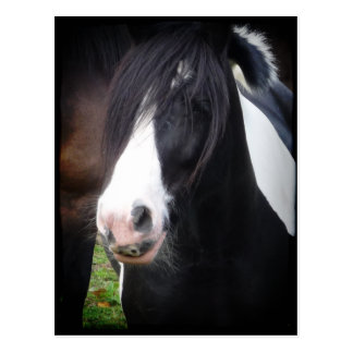 Black and White Horse Portrait Postcard