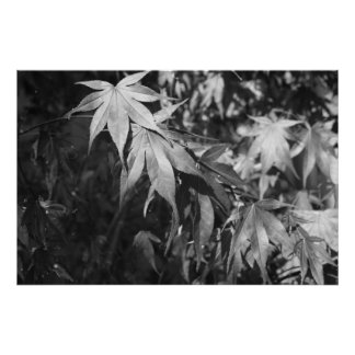 Black and White Japanese Maple Leaves Poster