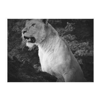 Black and White Lioness Stretched Canvas Print