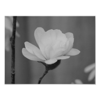 Black and White Magnolia Centennial Bloom Poster