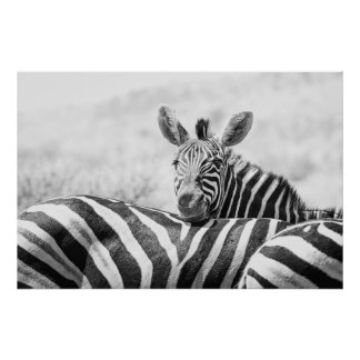 Black and white photo of a group of zebras… poster