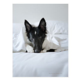 Black and white puppy in  bed with bone postcard
