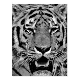 Black and White Tiger Face Postcard