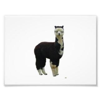 Black and White Tuxedo Alpaca Art Photo