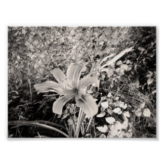 Black And White Vintage Tiger Lily Posters