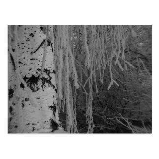 Black and White Weeping Birch in Winter Postcard