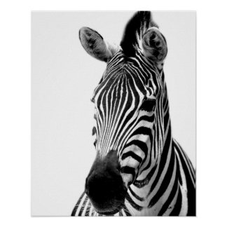 Black and white zebra photography poster