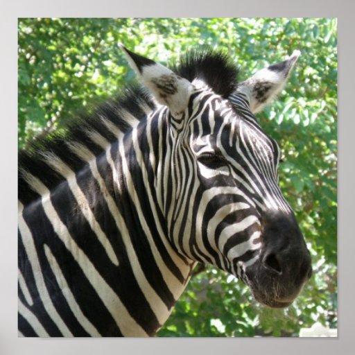 Black and White Zebra Poster Print