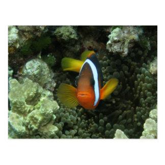 Black Anemonefish (Amphiprion melanopus) in Postcard