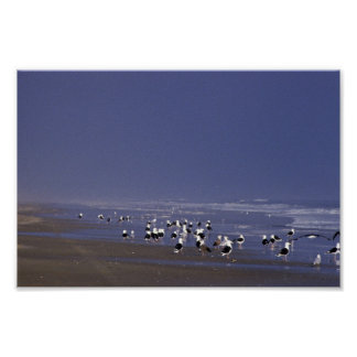 Black-backed gulls at shoreline poster