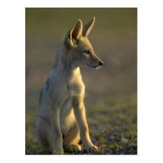 Black-Backed Jackal (Canis Mesomelas) Pup Postcard