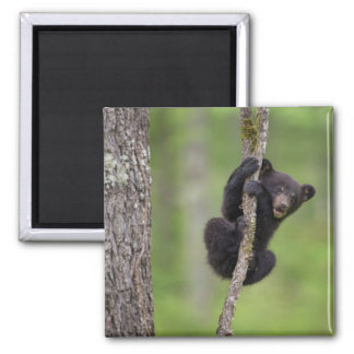 Black bear cub playing, Tennessee Magnet