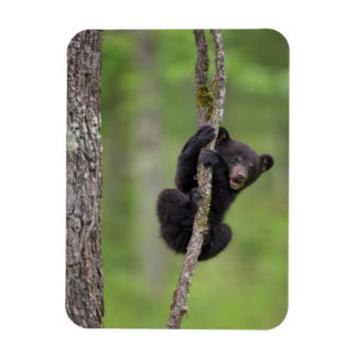 Black bear cub playing, Tennessee Rectangular Photo Magnet
