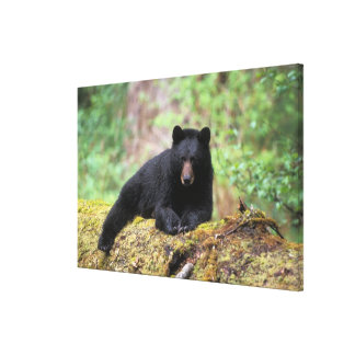 Black bear on an old growth log in the stretched canvas print