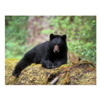 Black bear on an old growth log in the postcard