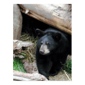 Black Bear Post Card