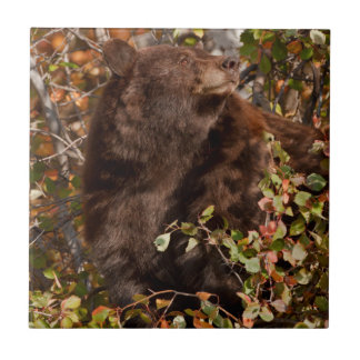 Black bear searching for autumn berries tile