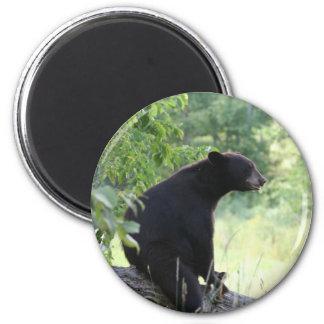 black bear sitting in tree magnet