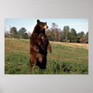 Black Bear standing erect Poster