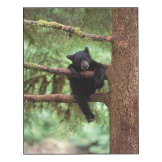 black bear, Ursus americanus, cub in a tree