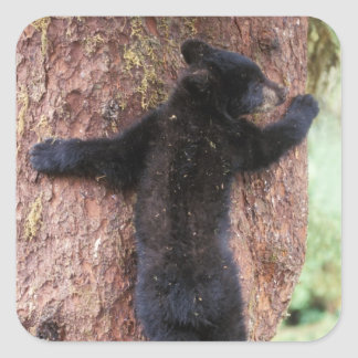black bear, Ursus americanus, cub in tree, Anan 2 Square Sticker