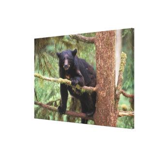 black bear, Ursus americanus, sow in tree, Anan Canvas Print