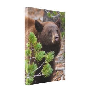Black Bear with Blond Color Stretched Canvas Prints