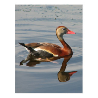 Black-bellied Whistling Duck Postcard