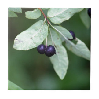 Black berried honeysuckle (Lonicera nigra) Tile