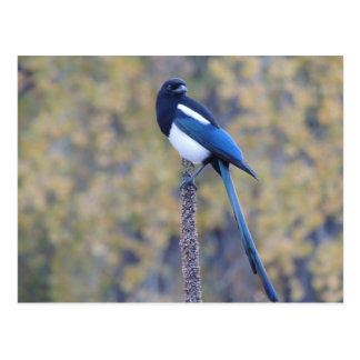 Black Billed Magpie Postcard