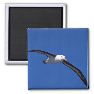 Black-Browed Albatross In Flight Square Magnet