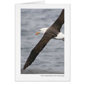 Black-browed Albatross in the Drake Passage Card