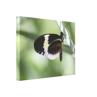 Black Brown and White Butterfly Gallery Wrap Canvas