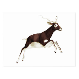 Black Buck Antelope Postcard