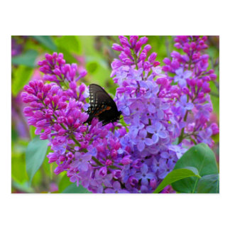 Black Butterfly on Lilac Postcard