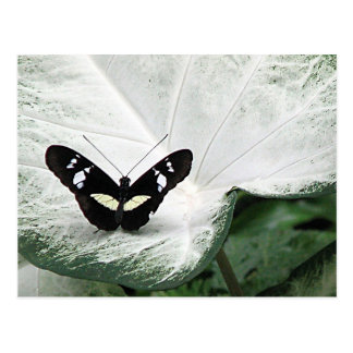 Black Butterfly on White Caladium Leaf Postcard