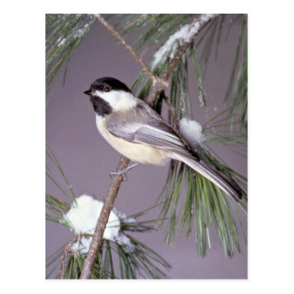 Black-capped Chickadee ? grey background Postcard