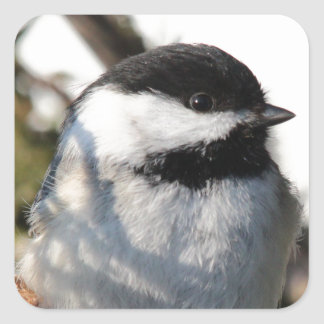 Black Capped Chickadee Square Sticker