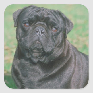 Black Chinese Pug Square Sticker