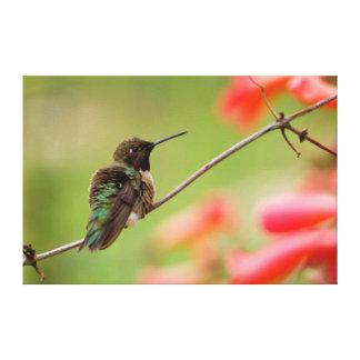 Black-Chinned Hummingbird Canvas Prints