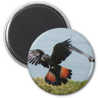 Black Cockatoo in for landing Magnet