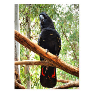 BLACK COCKATOO QUEENSLAND AUSTRALIA POSTCARD
